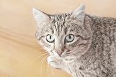 Tabby Male Cat Looking With Distrust And A Little Scared. Cat Looks Into The Lens. Portrait Of Tabby poster