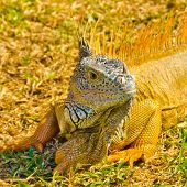 portrait of iguana on green grass lawn