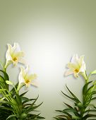 pic of easter lily  - Image and illustration composition of white lilies for Card background invitation or template - JPG