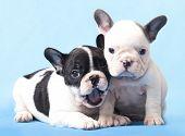 French bulldogs puppy
