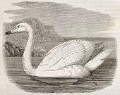 Whistling Swan old illustration (Cygnus columbianus). Created by Kretschmer, published on Merveilles de la Nature, Bailliere et fils, Paris, ca. 1878