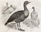 Greylag Goose old illustration (Anser anser). Created by Kretschmer and Jahrmargt, published on Merveilles de la Nature, Bailliere et fils, Paris, ca. 1878