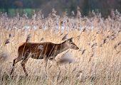 Wild deer walking through reed
