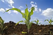 stock photo of zea  - young corn plants in the field and clouds - JPG