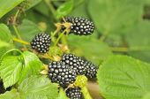 Blackberries Growing On Bush