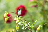 Western Emerald Sitting On Branch, Hummingbird From Tropical Forest,colombia,bird Perching,tiny Beau poster