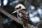 foto of blue winged kookaburra  - Laughing Kookaburra, iconic symbol of Australia. Photo was taken in wilderness.