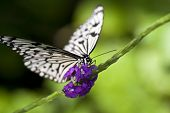 Paper Kite Butterfly