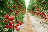 Beautiful Red Ripe Tomatoes Grown In A Greenhouse. Rows Of Ripe Homegrown Tomatoes Before Harvest. O poster