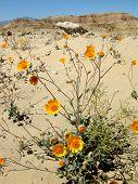image of anza  - yellow wildflowers growing in anza borrego desert  - JPG