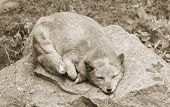 stock photo of arctic fox  - It is arctic fox sleeping on stone - JPG