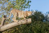Cheetah Crouching On A Tree Branch