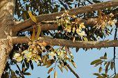 Durian's Flower Bud