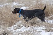 picture of ringneck  - Hunting Dog on point of a pheasant - JPG