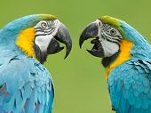 picture of green-winged macaw  - Close - JPG