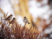 Sparrows On The Bush