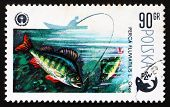 Selo postal Polónia 1979 perca, Perca Fluviatilis, peixe
