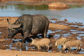 Buffalo And Warthogs