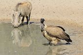 Warthog and Vulture - Wildlife Background from Africa - Natural Enemies