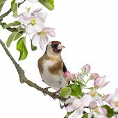 foto of goldfinches  - European Goldfinch - JPG