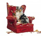 Australian Shepherd sitting on a detroyed armchair, isolated on white