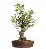 Malus Perpetu bonsai tree, isolated on white