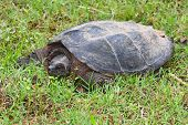 stock photo of terrapin turtle  - Large snapping turtle - JPG