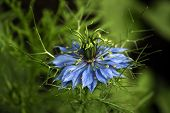 Love In A Mist (nigella Damascena)