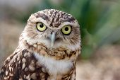 Burrowing Owl-Portrait
