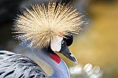 Portrait Of A Grey Crowned Crane (balearica Regulorum)