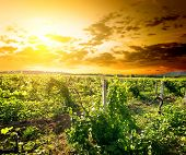 Crimean vineyard