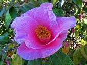 Pastel Pink Camilla Flower