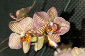 Freaky orchid pink and yellow. Close up
