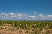 picture of heartwarming  - Colourful Summer Vineyard in South Crimea Ukraine - JPG