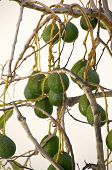 stock photo of avocado tree  - Avocado tree in the village La Calera on the island La Gomera - JPG