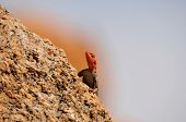 stock photo of greater  - Agama - JPG