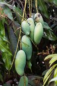 Close Up Of Mangoes.