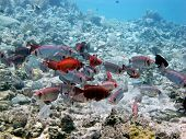 foto of bigeye  - A school of red and silver bigeyes blending in the coral background - JPG