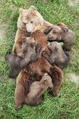 Brown bear with babies