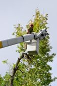 stock photo of cherry-picker  - Man in cherry picker trimming large tree