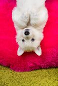 pic of swiss shepherd dog  - Baby white swiss shepherd hanging upside down - JPG
