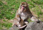 Macaque Monkey Playing