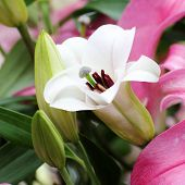 stock photo of belladonna  - Close up white lily in the field - JPG