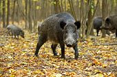 stock photo of omnivore  - Wild boar fall in their natural habitat - JPG