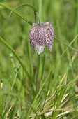 Snake's Head Fritillary ( Fritillaria Meleagris )