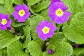 Purple Primula Flowers