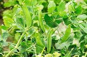 Bush Of Peas Growing