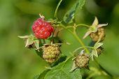 Raspberry Fruit Growing On Branch In The Garden