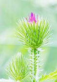 stock photo of cardo  - Thistle green closed bud with lilac stamens