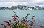 foto of flax plant  - Flax flowers in full bloom with Wellington Harbour  - JPG